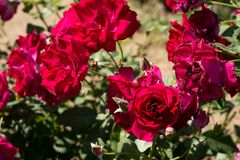 La rosa del rojo del primer florece en el árbol, conceptos dulces del amor, conceptos románticos, imágenes macras Fotografía de archivo
