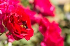 La rosa del rojo del primer florece en el árbol, conceptos románticos, imágenes macras Fotografía de archivo libre de regalías