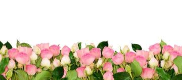 La rosa del rosa florece la frontera Imagen de archivo libre de regalías