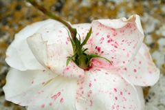 La rosa descolorada cae abajo en la tierra Foto de archivo