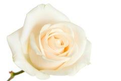 La rosa di bianco ha isolato Fotografie Stock Libere da Diritti