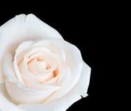 La rosa di bianco ha isolato Immagini Stock