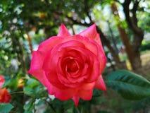 La rosa di cinese sta sbocciando in primavera Fotografia Stock