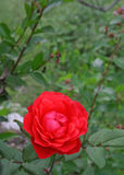 La rosa di colore rosso è per amore fotografie stock