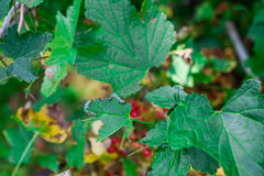 La rosa di Guelder sta sviluppandosi nell'ambito della luce del sole Fotografie Stock