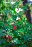 La rosa di Guelder sta sviluppandosi nell'ambito della luce del sole Fotografia Stock