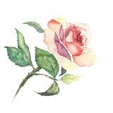 La rosa florece la acuarela de la pintura de la acuarela Imagen de archivo libre de regalías