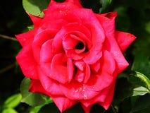 La rosa grande hermosa del rojo de la reina fotografía de archivo libre de regalías