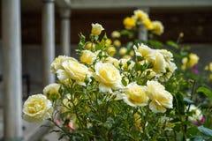 La rosa hermosa floreciente y de florecimiento del amarillo florece en el fondo borroso de la pieza constructiva del patrimonio m Foto de archivo libre de regalías