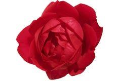 La rosa roja, aislada contra un fondo blanco, primer imagen de archivo