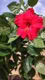 La rosa roja del verano fotos de archivo