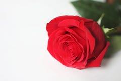 La rosa roja es un blanco Fotografía de archivo libre de regalías