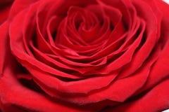La rosa roja es un blanco Fotos de archivo libres de regalías