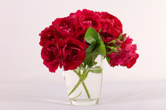 La rosa roja es un fondo blanco Imagen de archivo libre de regalías