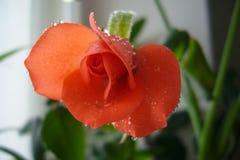 La rosa rosada amarilla, jardín bonito subió variedad color de rosa híbrida brote de flor abierto brillante color y hermoso suave fotografía de archivo libre de regalías