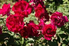 La rosa rossa del primo piano fiorisce sull'albero, i concetti dolci di amore, i concetti romanzeschi, macro immagini fotografia stock