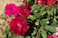 La rosa rossa del primo piano fiorisce sull'albero, i concetti dolci di amore, i concetti romanzeschi, macro immagini immagini stock libere da diritti