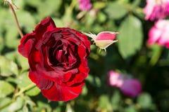 La rosa rossa del primo piano fiorisce sull'albero, i concetti dolci di amore, i concetti romanzeschi, macro immagini immagine stock