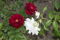 La rosa rossa dentro rosengarden fotografie stock