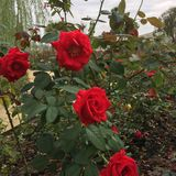 La rosa rossa luminosa nel giardino botanico Immagine Stock Libera da Diritti