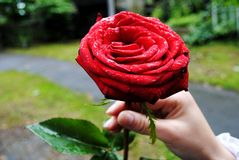 La rosa rossa nella mano Fotografia Stock