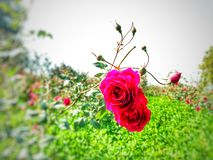 La rosa rossa più bella immagini stock