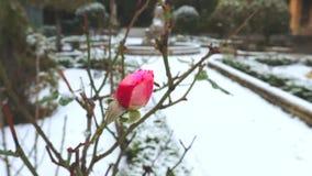 La rosa rossa sulla neve bianca La neve continua a cadere Inverno rigido in Italia, archivi video