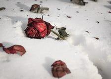 La rosa vieja del rojo miente en la nieve Imagen de archivo libre de regalías