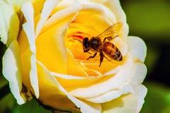 La rosa y la abeja Foto de archivo libre de regalías