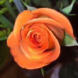 La Rose foto de archivo