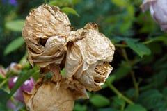 La rose dans le jardin Photographie stock libre de droits