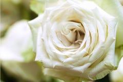 La rose de blanc est amour pur Images libres de droits