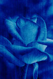 La rose de bleu de beauté, les jeans abstraits donnent au fond une consistance rugueuse de fleur Photo libre de droits
