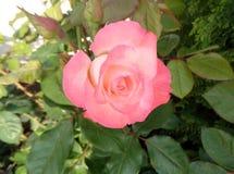 La rose de rose fleurit sur le fond des feuilles vertes Image stock