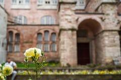 La rose de floraison et de bourgeonnement de jaune fleurissent le premier plan avec l'insecte sur le fond brouillé du patrimoine  photo libre de droits
