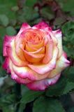 La rose de jaune et de rose bourgeonnent la moitié a fleuri dans un jardin photographie stock libre de droits