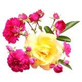 La rose de rose fleurit la brindille d'isolement Photos libres de droits
