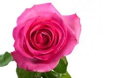 La rose de rose a isolé Photo stock