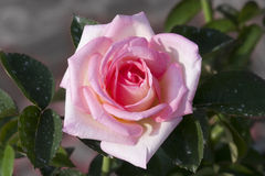 Rose de rose Images libres de droits
