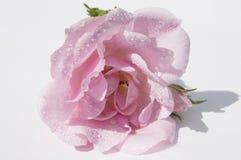 La rose de rose sur le fond blanc avec de l'eau se laisse tomber Photographie stock libre de droits