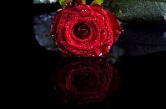 La rose de rouge avec de l'eau se laisse tomber sur un fond noir, l'espace libre pour Images libres de droits