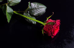 La rose de rouge avec de l'eau se laisse tomber sur un fond noir, l'espace libre pour Photographie stock