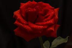 La rose de rouge est sur un fond foncé Image stock