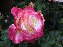 La rose de rouge et de blanc fleurit avec des gouttelettes d'eau au printemps Images stock