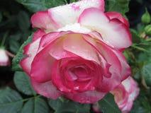 La rose de rouge et de blanc fleurit avec des gouttelettes d'eau au printemps Photos libres de droits