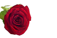 La rose de rouge a isolé Photographie stock libre de droits
