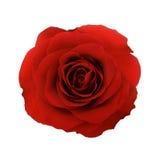 La rose de rouge a isolé Images stock