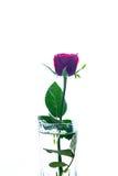 La rose de rouge a isolé le blanc, pendant les jours sombres de l'amour, l'espace de copie Images stock