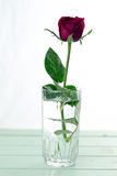 La rose de rouge a isolé le blanc, pendant les jours sombres de l'amour, l'espace de copie Photographie stock libre de droits