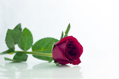 La rose de rouge a isolé le blanc, pendant les jours sombres de l'amour, l'espace de copie Photos stock